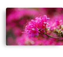 Tickled Pink at Logan Canvas Print