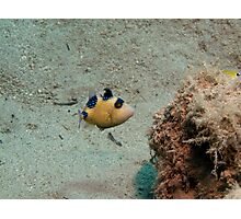 Pseudobalistes fuscus - Juvenile Bluelined Trigger fish Photographic Print