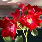 lovely red old fashioned single rose by BronReid