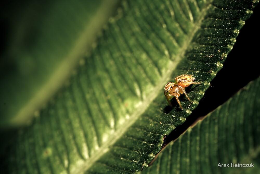 Jumping spider on a leaf by Arek Rainczuk