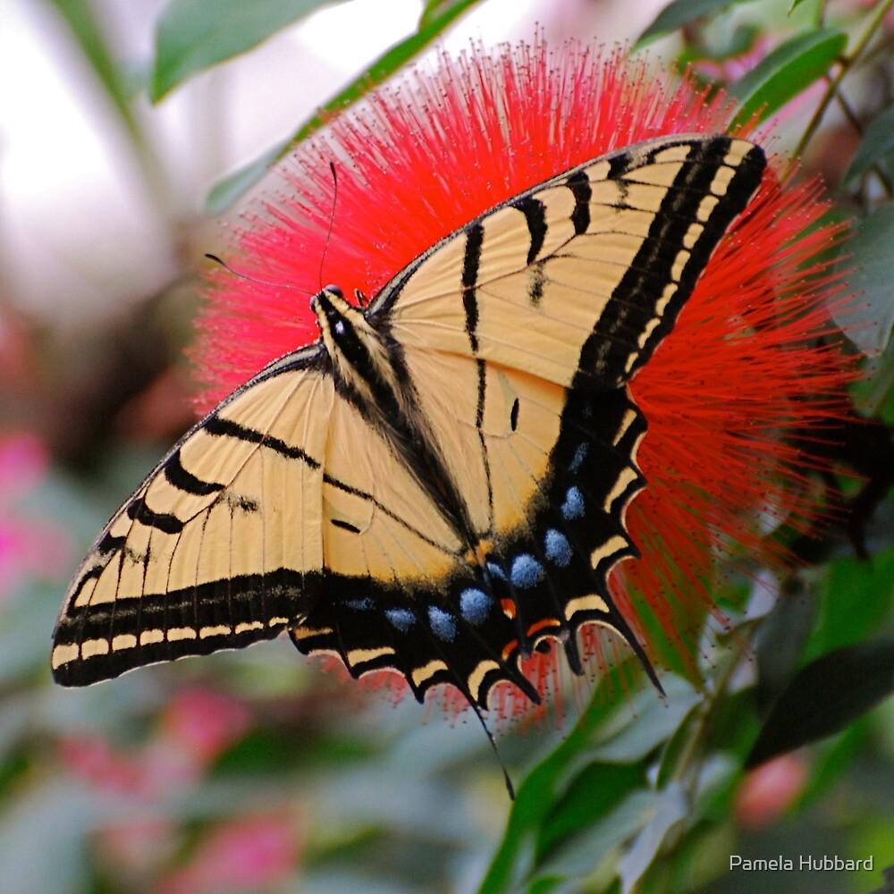 Eastern Tiger On Mimosa by Pamela Hubbard