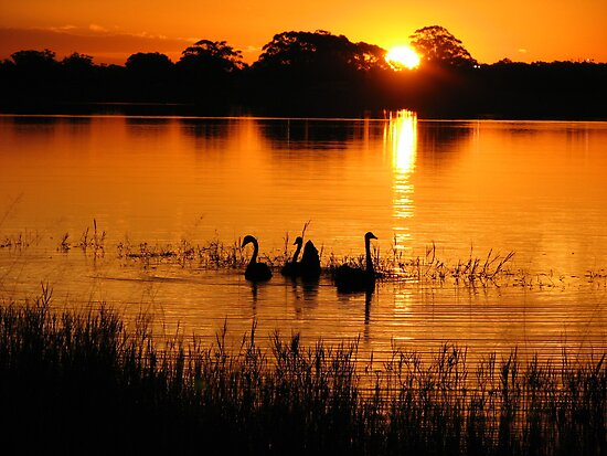 Swans on Sunset by Gabrielle  Lees