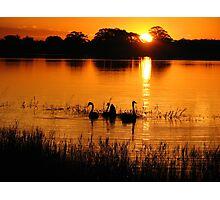 Swans on Sunset Photographic Print