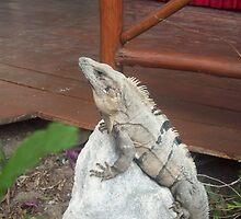 Iguana on rock in Playa del Carmen, Mexico by Kelly Case