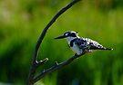 Kingfisher by Macky