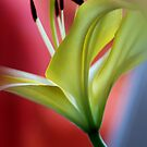Lily No.2 by LAURANCE RICHARDSON