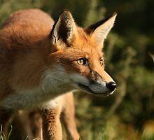 Fox cub by ThatsAndy