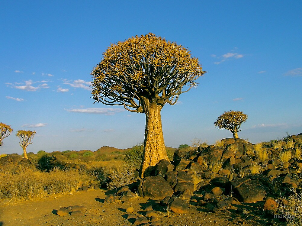quiver tree in the setting sun by mamba