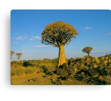quiver tree in the setting sun Canvas Print