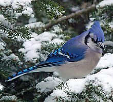 Adirondack Winter Jay by Brian Pelkey