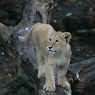 Young lion cub by Sandra O'Connor
