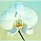 White Orchid by Kelly Pierce