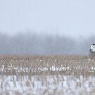 Snowy Owl - peek a boo! by Jim Cumming