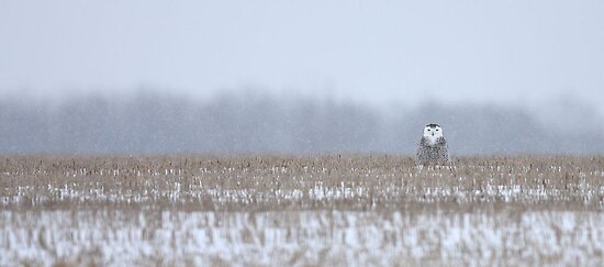 Snowy Owl - peek a boo! by Jim Cumming