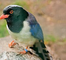Red-billed Blue Magpie by Dominika Aniola