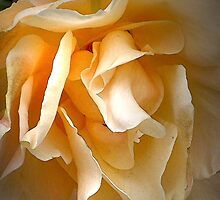 Middle aged rose by Sarah Curtiss