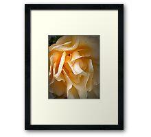 Middle aged rose Framed Print