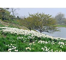 Field of White Daffodils Photographic Print