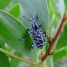 Botany Bay Weevil by Gabrielle  Lees