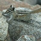 Chipmunk at Rocky Mountain National Park by Susan Russell