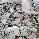 Winter Berries by CMCetra