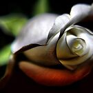 solitary rose .... by SNAPPYDAVE