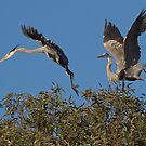 Feuding Herons by Marvin Collins