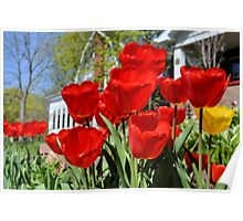 Front Yard Tulips Poster