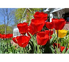 Front Yard Tulips Photographic Print