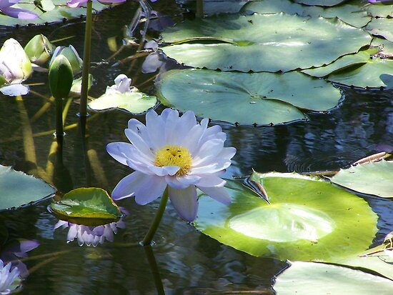 Water Lily by Matthew Sims