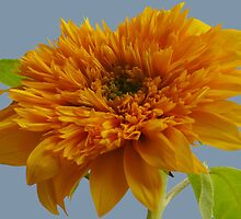 A sunflower in my garden by krista121