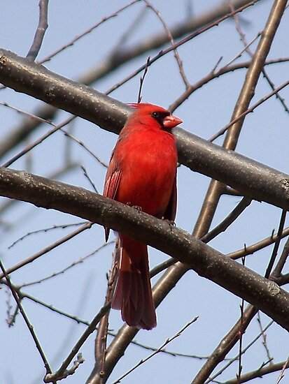 An impressive male Northern Cardinal. by William Brennan