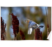 What's The Rush - Eastern Blue Bird Poster