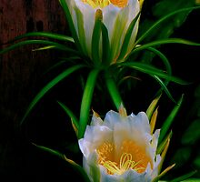 Queen of the Night ~ Deer-Horn Cactus by HG. QualityPhotography