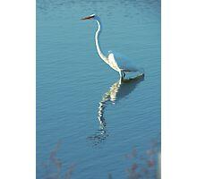 Horicon marsh Egret Photographic Print