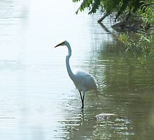 Great White Egret by EugeJ