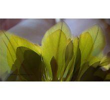 Fig Leaf Cheeky & Green © Vicki Ferrari Photographic Print