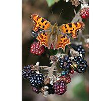 Comma on Blackberries Photographic Print