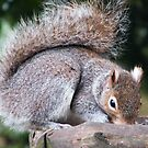 Grey Squirrel by TREVOR34