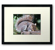 Grey Squirrel Framed Print