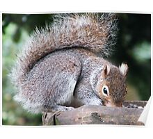 Grey Squirrel Poster