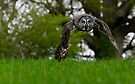 Great Grey Owl flying by buttonpresser
