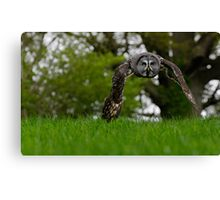 Great Grey Owl flying Canvas Print
