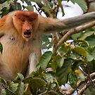 Bellowing Proboscis monkey by tara-leigh