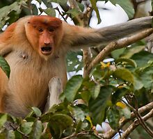 Bellowing Proboscis monkey by tara-leigh