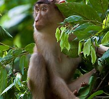 Pig-tail macaque by tara-leigh