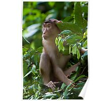 Pig-tail macaque Poster