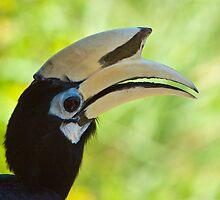 Oriental pied hornbill by tara-leigh