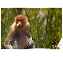 Proboscis monkey eating Poster