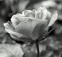 B&W rose by wildone